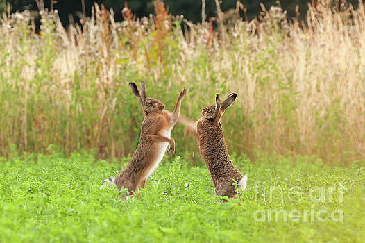 Simon Bratt Photography LRPS - Mad wild hares boxing and fighting in Norfolk UK