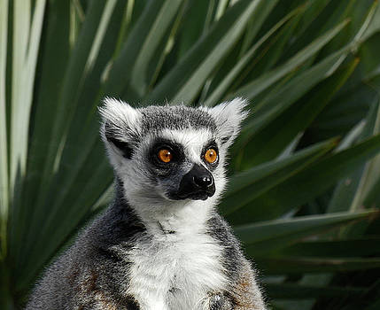 Madagascan Palm And Lemur by Margaret Saheed