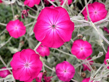 Magenta Blooms by Julie Behm