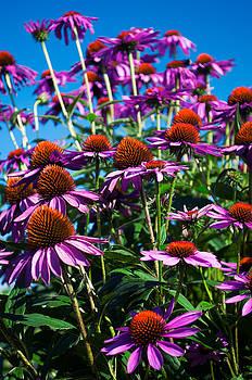 Magenta Corn flowers in the Summer by Samantha Boehnke