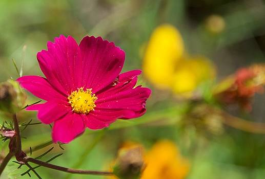 Magenta Flower by Chris Alberding