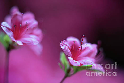 Mike Reid - Magenta Flowers Azaleas