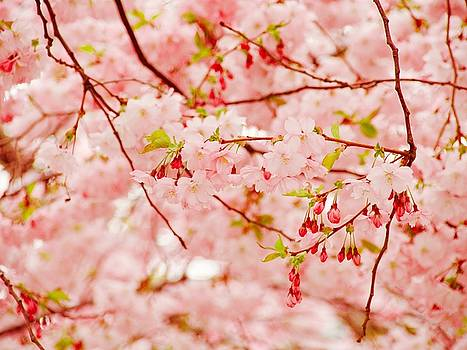 Magical Cherry blossom in Stockholm in May by Tamara Sushko