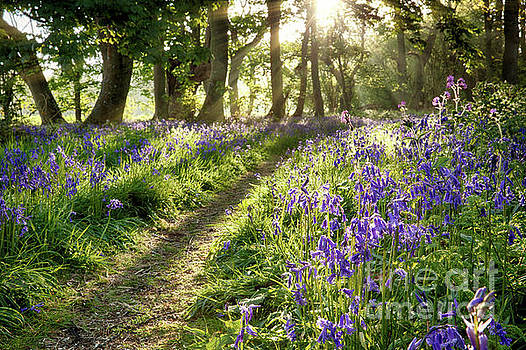 Simon Bratt Photography LRPS - Magical path through bluebell forest with early morning sunrise