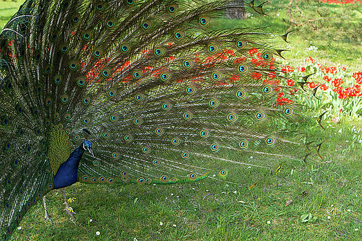 Magical Peacock  by LesJardins Photography
