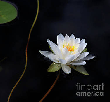 Michelle Constantine - Magical Water Lily