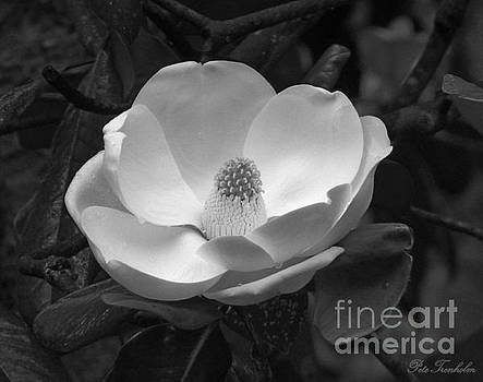 Magnificant Magnolia BW by Pete Trenholm