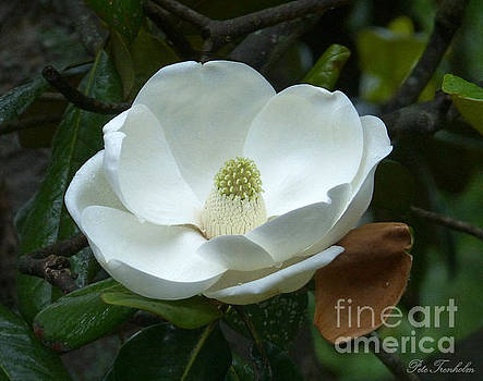 Magnificant Magnolia by Pete Trenholm