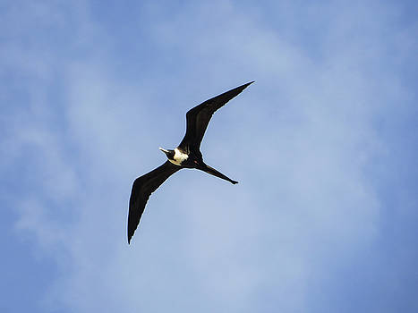 Magnificent frigatebird in flight by Helissa Grundemann
