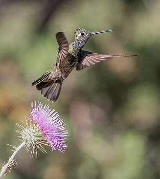 Dee Carpenter - Magnificent Hummingbird
