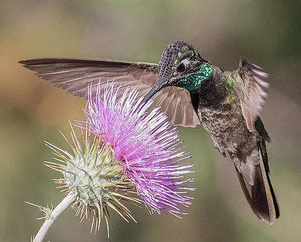 Dee Carpenter - Magnificent Hummingbird Male
