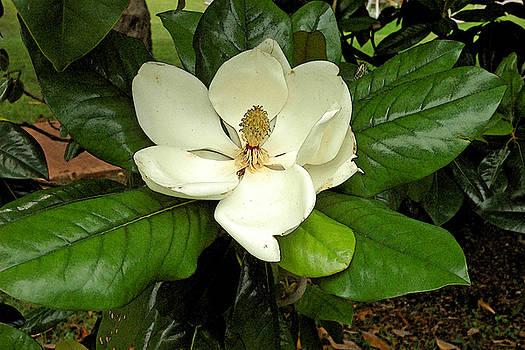 Robert Anschutz - Magnificent Magnolia