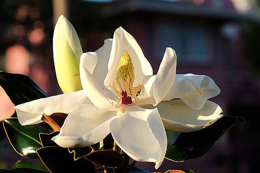 Magnolia 2 by Charles Van Riper
