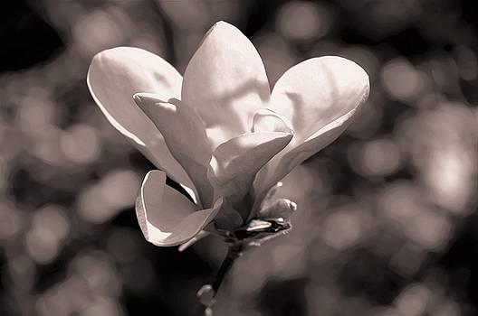 Marla McPherson - Magnolia Bloom In Black And White