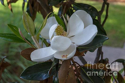 Dale Powell - Magnolia Blossom