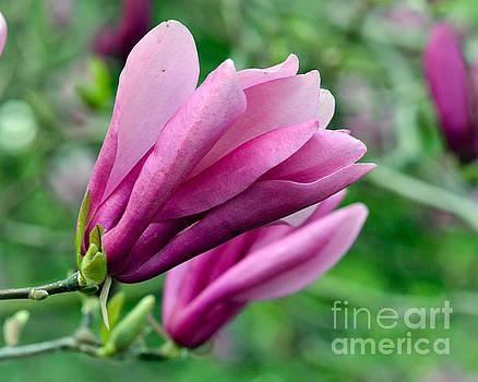Magnolia Blossoms by Kerri Farley