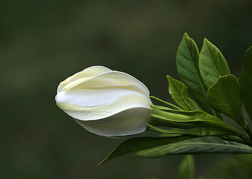 Gardenia Bud by Beth Fox