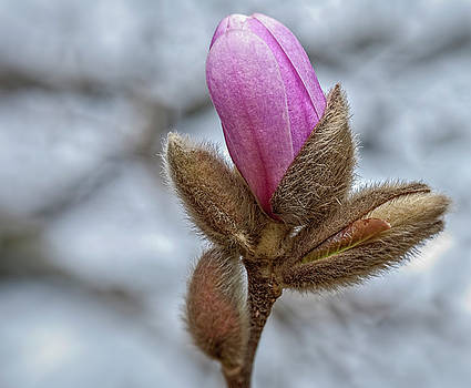 Magnolia Bud by Cathy Kovarik