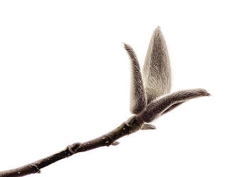 Magnolia Bud On A White Background by Yvon van der Wijk
