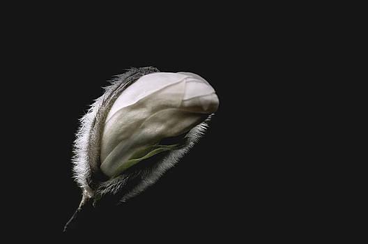 Magnolia bud on black by Yvon van der Wijk