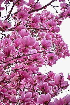 Magnolia by Ewa Kuc