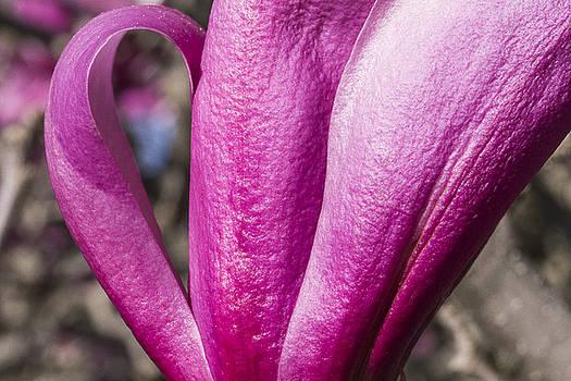 Steven Ralser - Magnolia flower - Arboretum - Madison Wisconsin