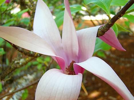 Baslee Troutman - Magnolia Flowering Tree art prints White Pink Magnolia Flower Baslee Troutman