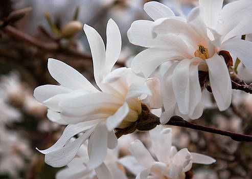 Magnolia Flowers by Leah Dore