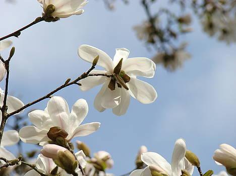 Baslee Troutman - Magnolia Flowers White Magnolia Tree Art 2 Blue Sky Giclee Prints Baslee Troutman