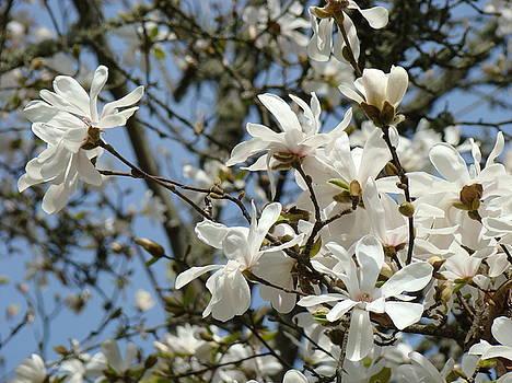 Baslee Troutman - MAGNOLIA FLOWERS White Magnolia Tree Flowers Art Prints