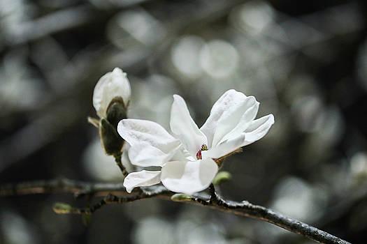 magnolia II by Hyuntae Kim