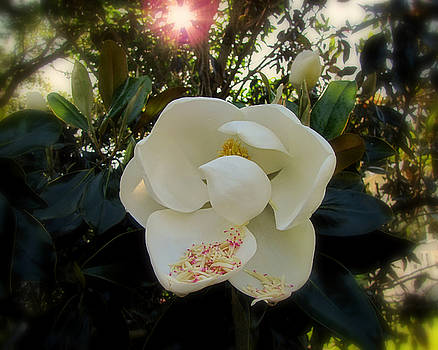 Peg Urban - Magnolia in the Morning