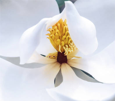 Magnolia by Jeff Sebaugh