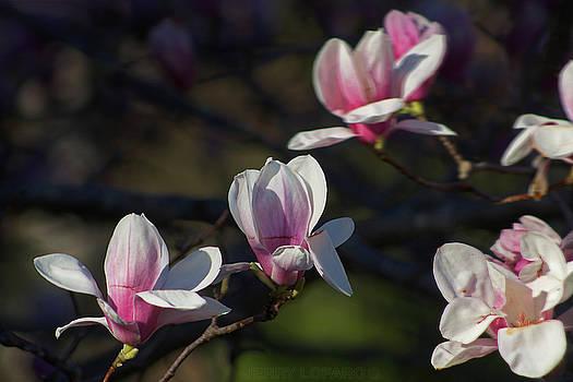Magnolia by Jerry LoFaro