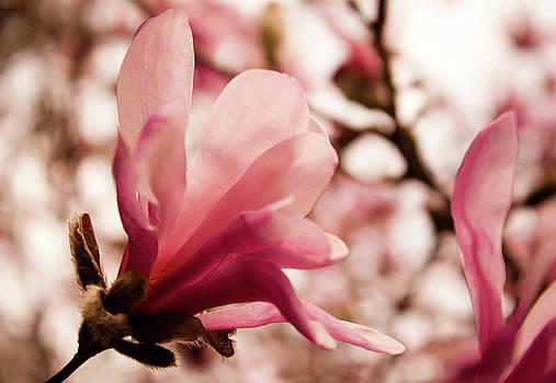 Magnolia by Leah Dore