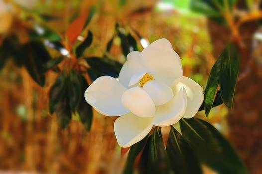 Magnolia by Mindy Newman