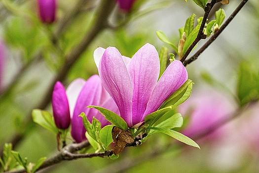 Magnolia by Karol Livote