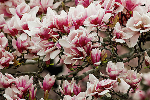 Magnolia Spring Blooms by Carol F Austin