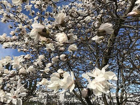 Patricia Hofmeester - Magnolia tree in blossom