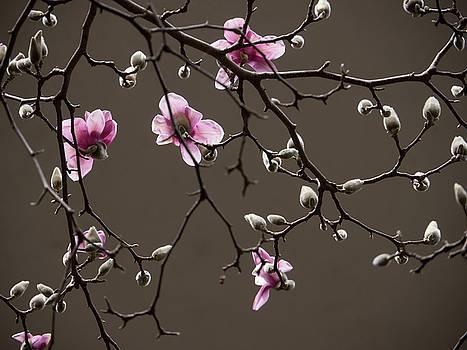 Magnolias in Bloom by Rob Amend