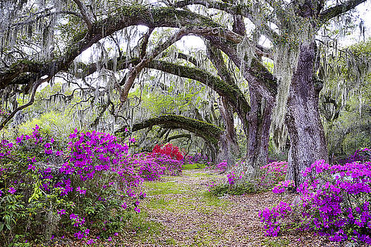 Magnolia's Magnificent Oaks by Jim Miller