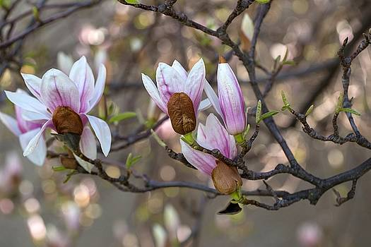 Magnolias with branches by Lynn Hopwood