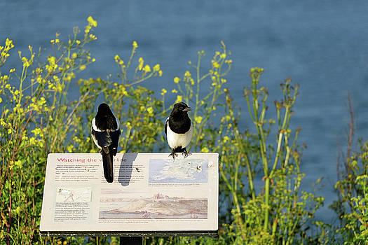 Magpies Keeping Watch - Pendennis Point by Rod Johnson