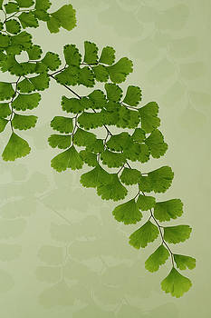 Sandra Foster - Maiden Hair Fern With Shadows