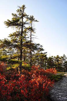 Maine Autumn Blueberry Bush by Emilia Brasier