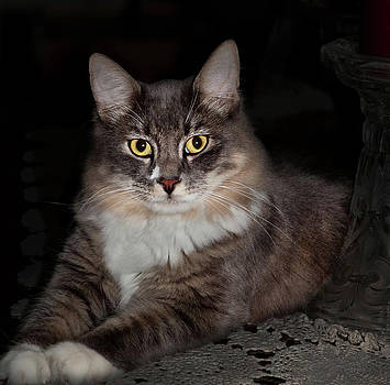 Maine Coon Cat by Laura Greene