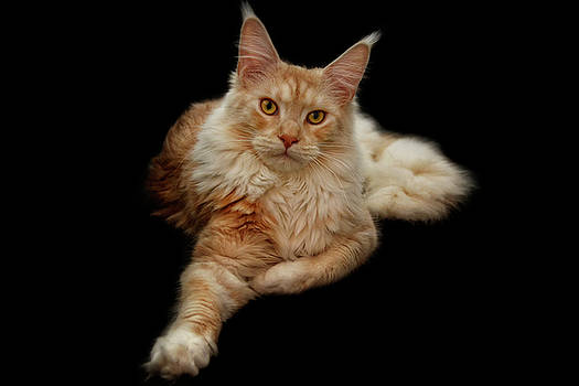 Maine coon lady by Claudia Moeckel