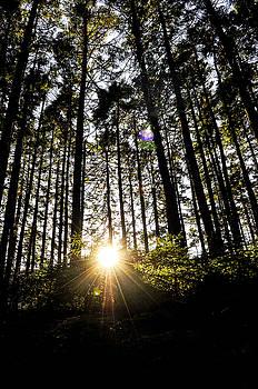 Maine Fir Trees by Emilia Brasier