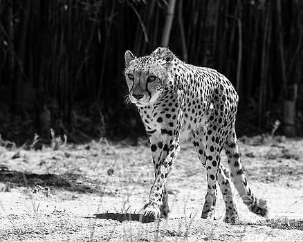 Maive - Cheetah - bw by Jan Mulherin