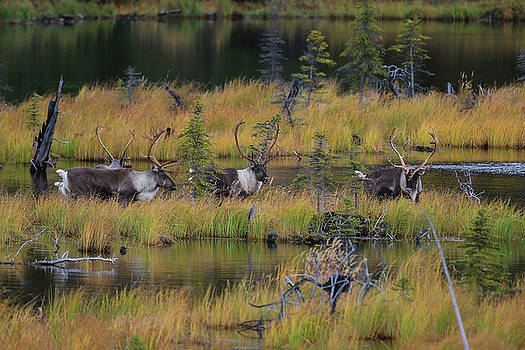 Majestic Caribou  by Sam Amato